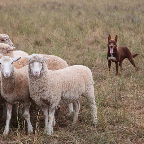 merriwa-shearing-071